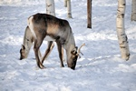Finnish forest reindeer (Rangifer tarandus fennicus)